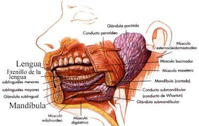 Partes de la boca y la garganta