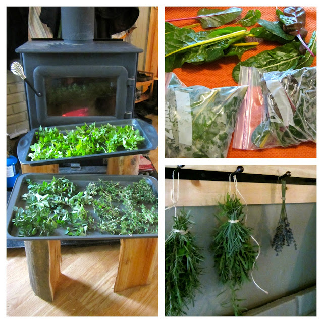 herbs drying in front of the wood stove, tied with twine hanging up on hooks and swiss chard in baggies ready for the freezer