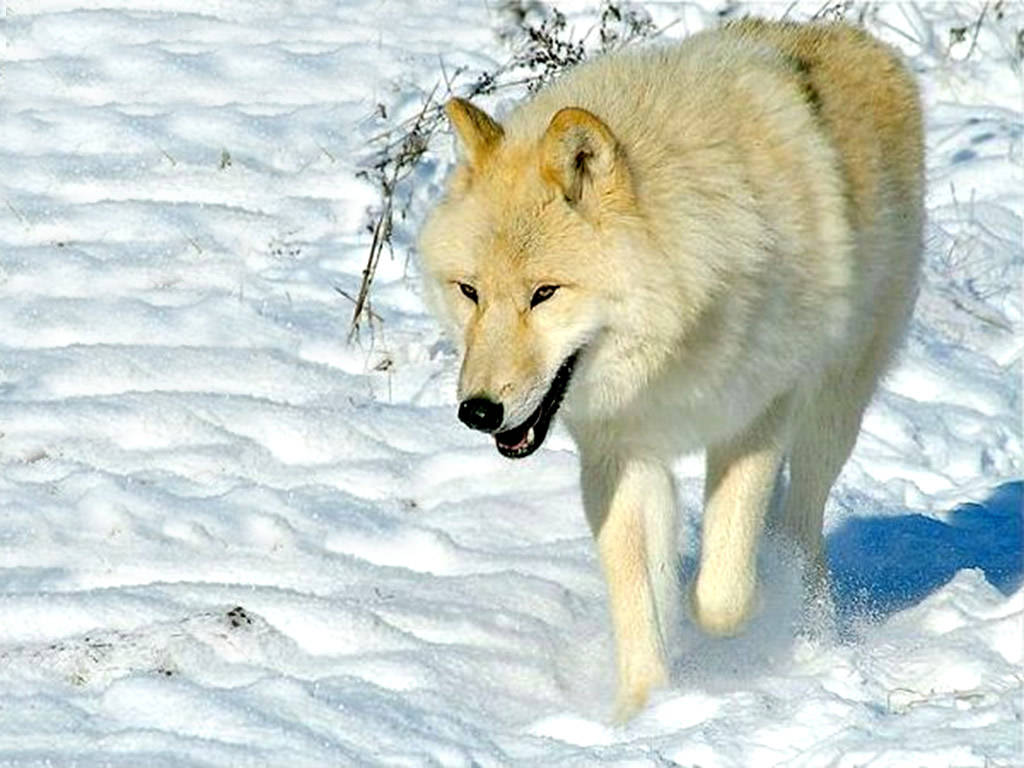 Must see   Wallpaper Horse Wolf - Amazing+Wolf+Wallpapers+14  Pic_804316.jpg