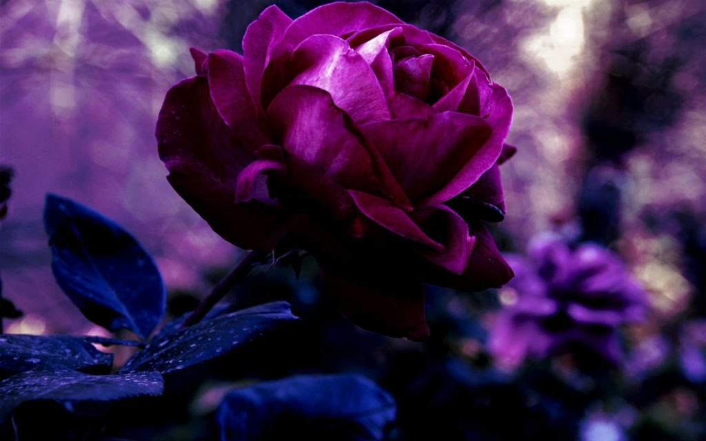 Purple Rose Flowers - Flower HD Wallpapers, Images, PIctures, Tattoos ...