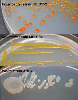 Koloni bakteri di cawan petri