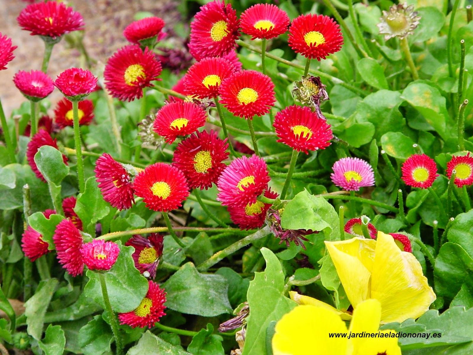 Jardineria eladio nonay bellis perennis jardiner a - Jardineria eladio nonay ...