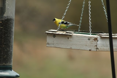 goldfinch at tray feeder