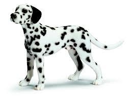 Giống chó Dalmantian.
