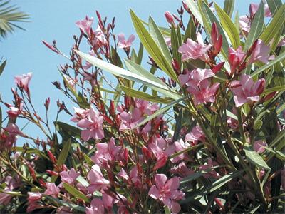 Savez vous planter les choux quelques id es de - Engrais laurier rose ...