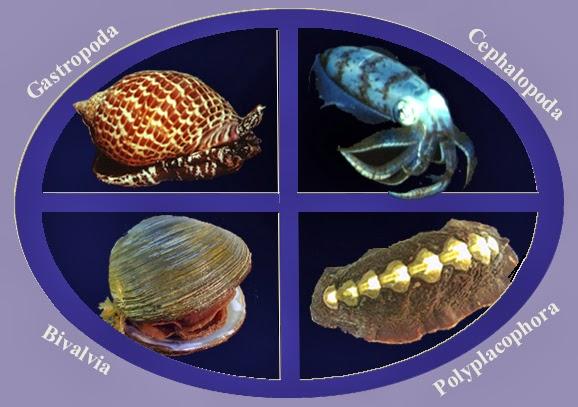 Kelas dalam Filum Mollusca