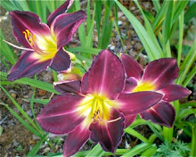 Strutter&#39;s Ball daylily