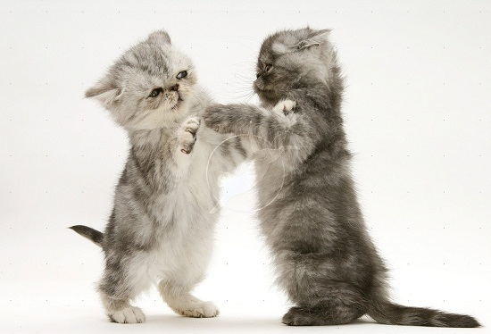 Cats and Kittens Playing
