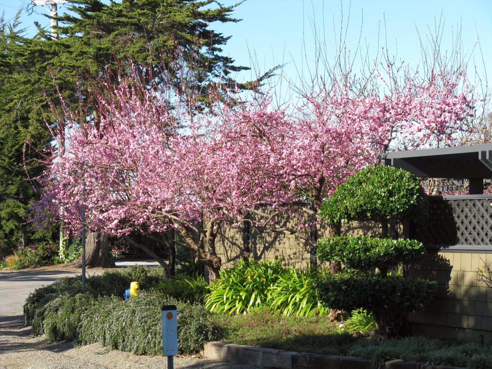 Trees of Santa Cruz County Prunus x Blireiana Blireiana Plum