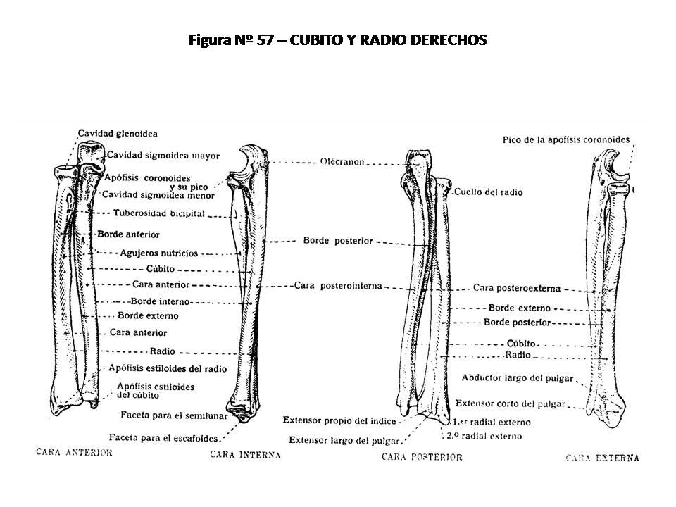 ATLAS DE ANATOMÍA HUMANA: 57. CUBITO Y RADIO DERECHOS.