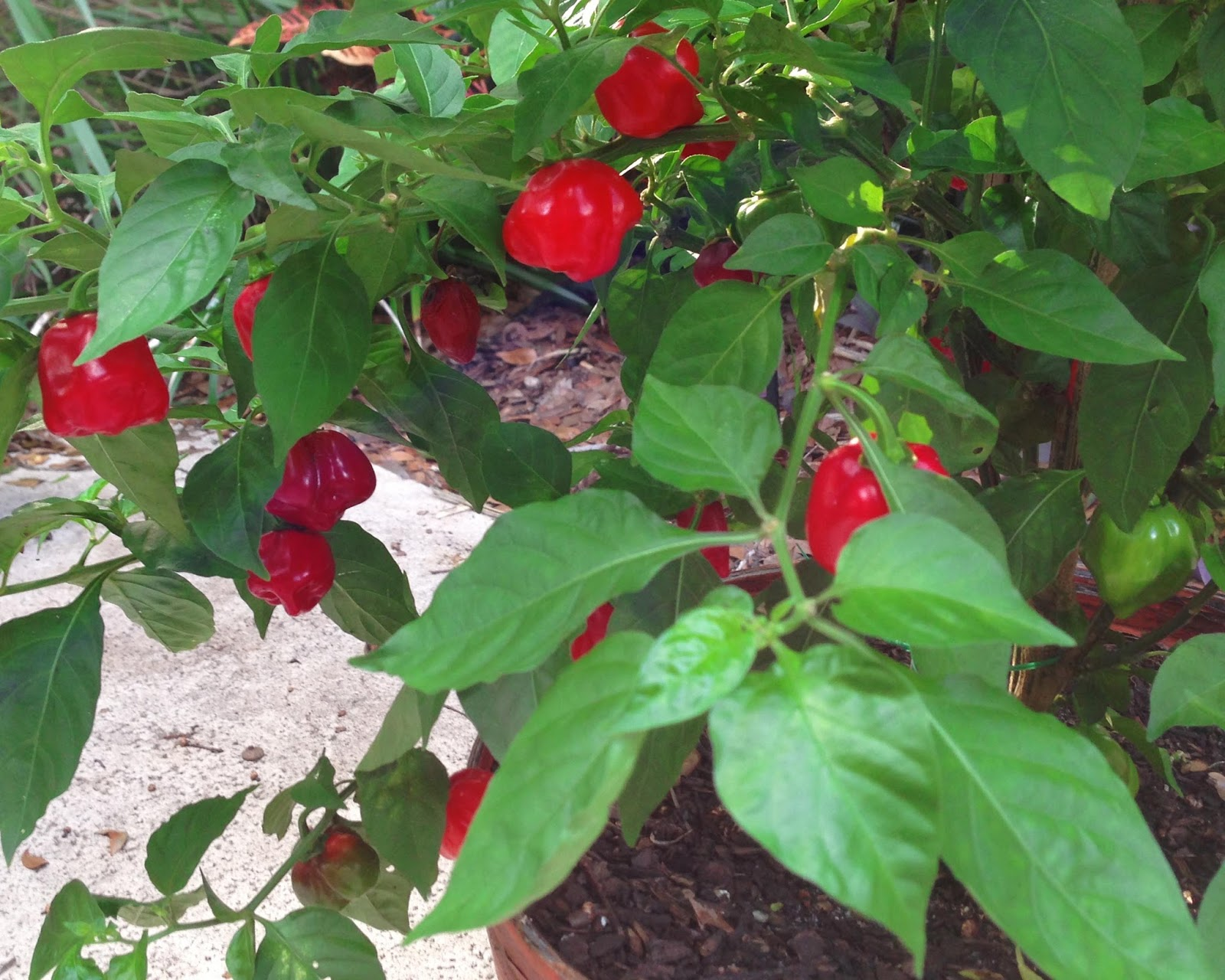 how to grow habaneros in pots