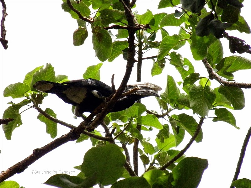 Silvery-cheeked Hornbill at lake tana in ethiopia