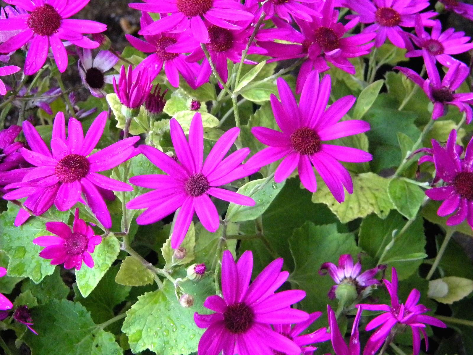 Fuchsia Daisies spring flowers Cape daisy
