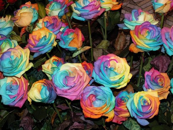 World of technology how to grow a rainbow rose naturally for Where can i buy rainbow roses