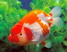Usaha Sampingan Ikan Hias