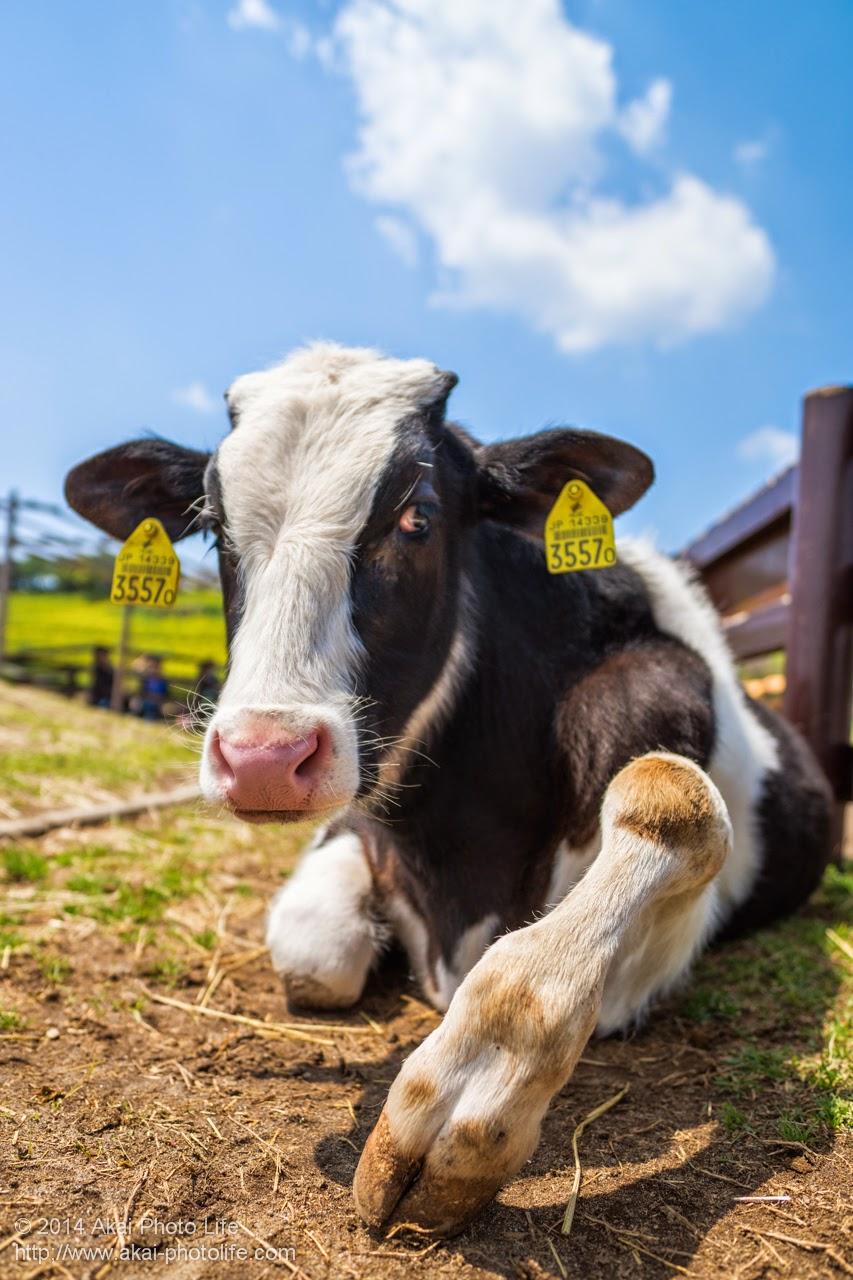 マザー牧場 ふれあい牧場にいる牛