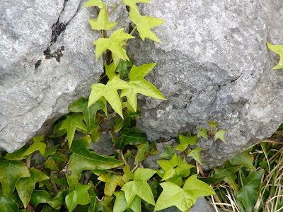 Ivy (Hedera helix cf hibernica)