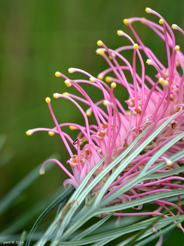 pink fronds