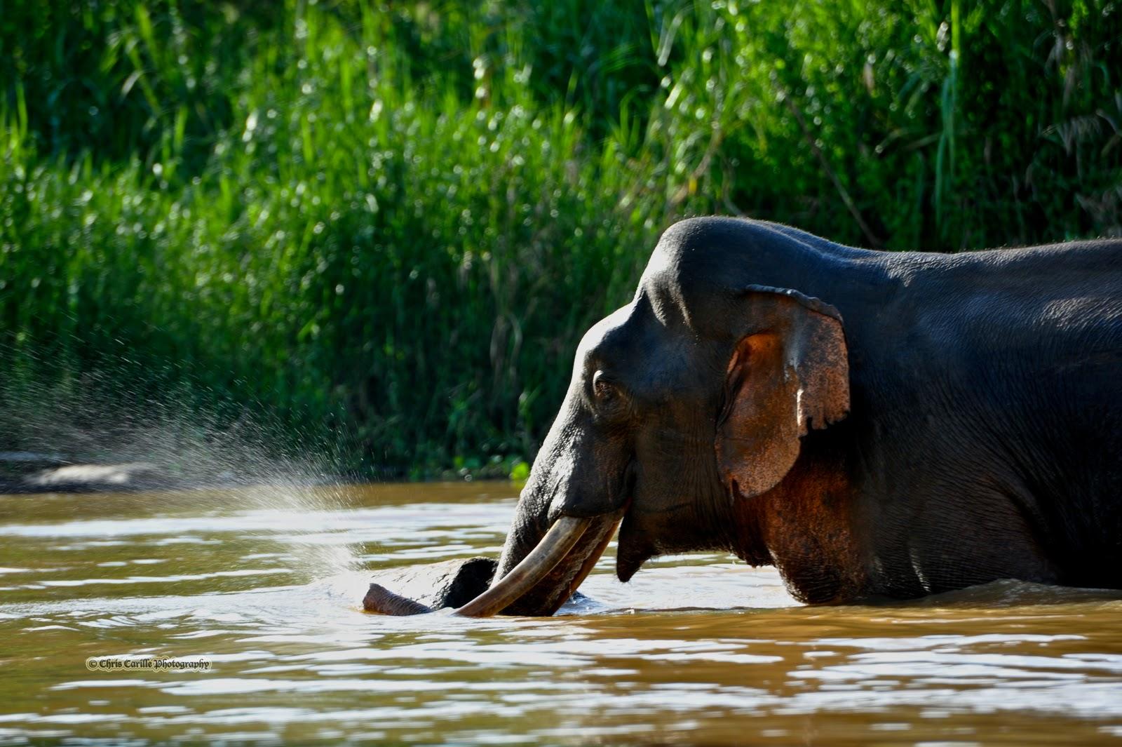 Elefante de Bornéu VS Potol Borneo+Pygmy+Elephant+%2528Elephas+maximus+borneensis%2529+20