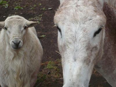 Sheep and Donkey Closeup