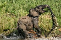 Pertarungan Sengit Gajah VS Buaya