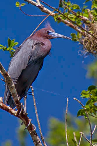 Rick Petersohn's Little Blue Heron