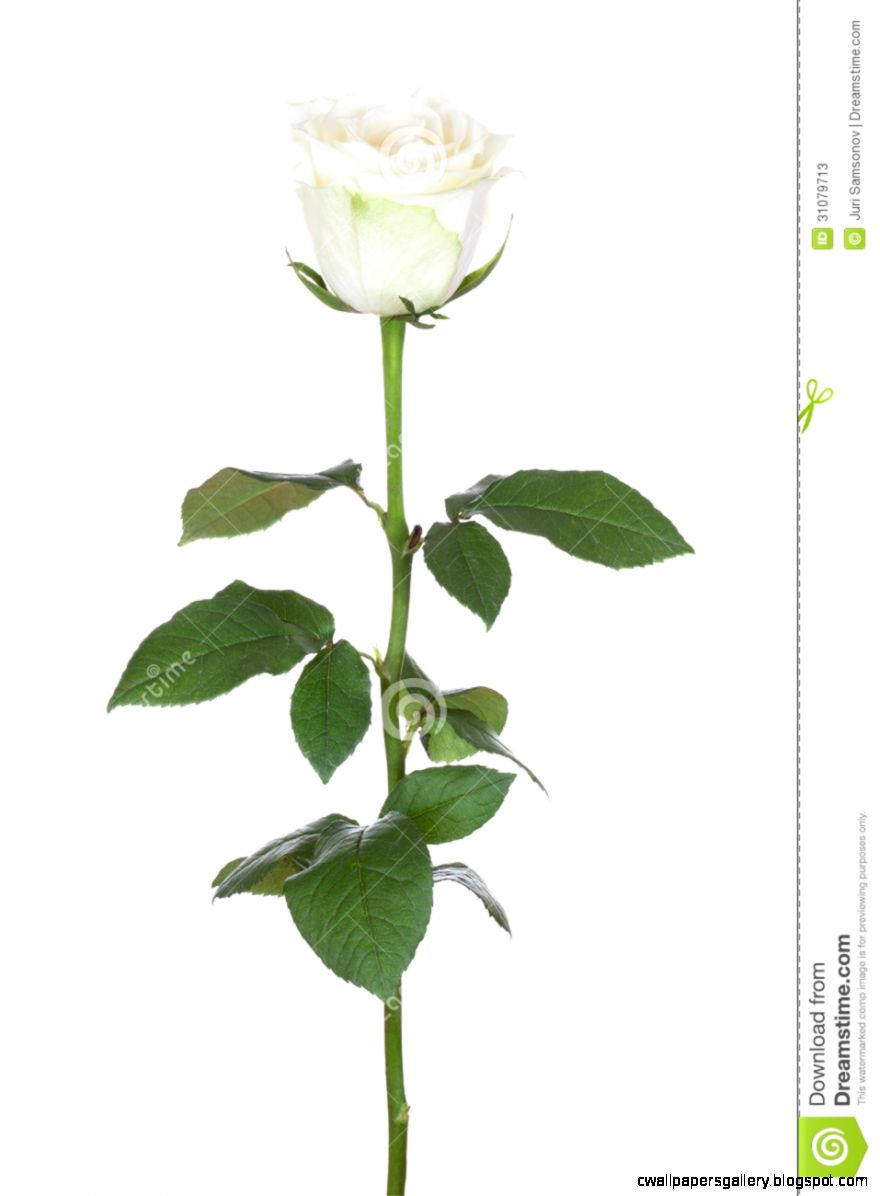 Single White Rose Stock Photos   Image 31079713