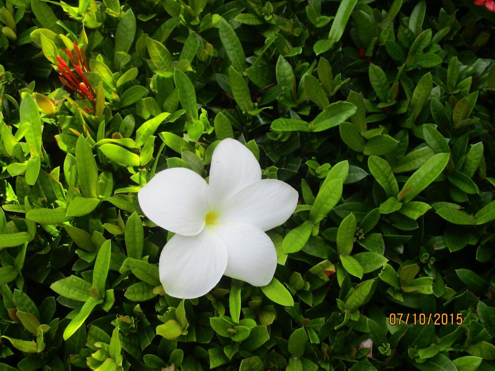 Indonesiabound Leelawadee Flower
