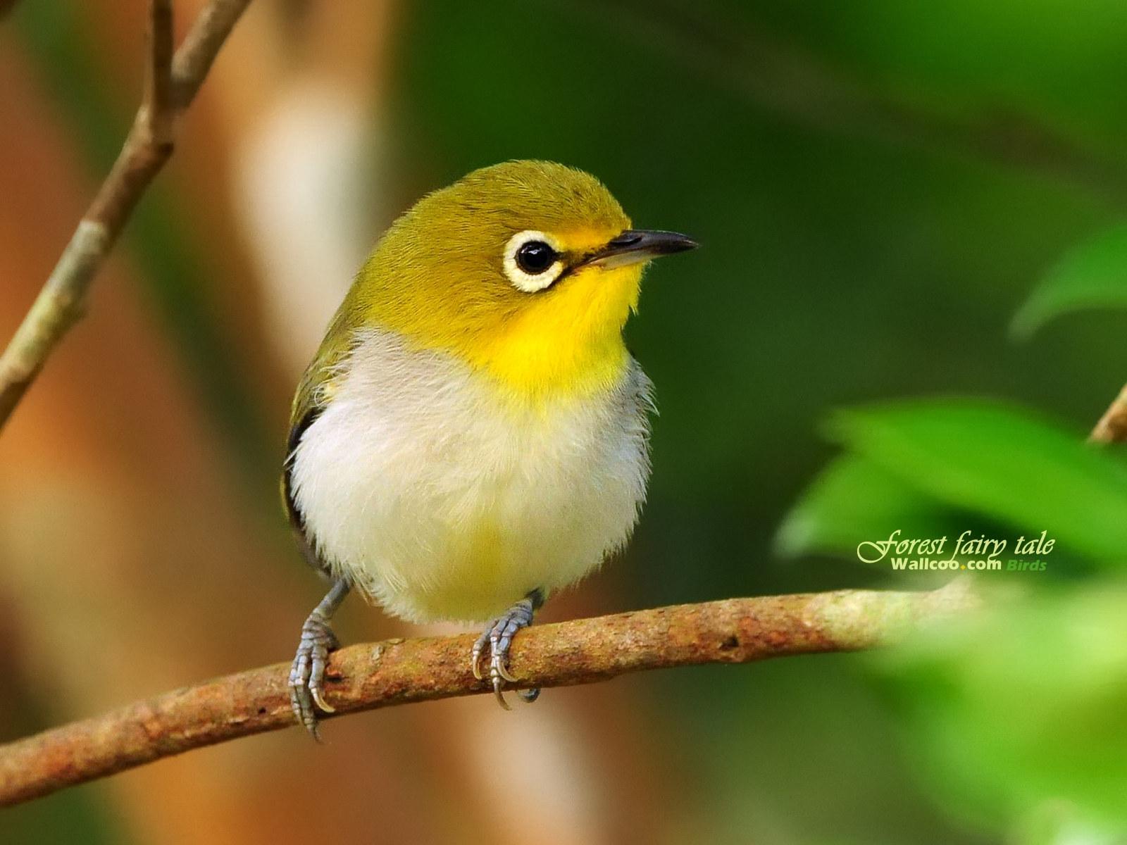 Little Yellow Bird >> Cute Little Yellow Bird Wallpaper Wallpaper Me