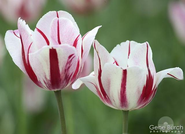 http://3.bp.blogspot.com/-Jvh4XG_DKx4/Tr_sVhlaN2I/AAAAAAAABBM/tf_hoRmnZZU/s1600/Red_White_Tulips.jpg