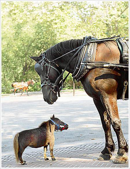 a large brown horse looks down on a tiny cute miniature horse
