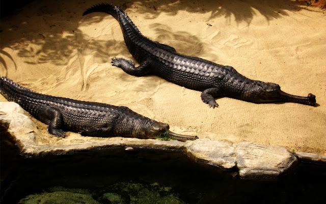 تمساح تماسيح hd