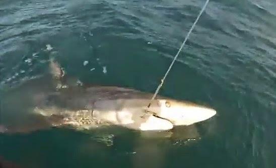 World Sharks News VIDEO Kayak Fishing For A Big Blacktip Shark