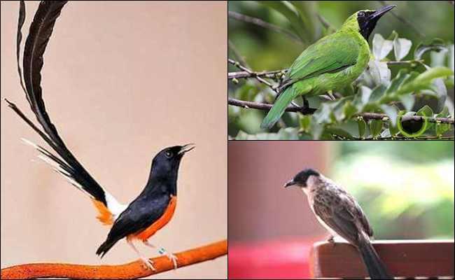 10 Burung Kicau Terbaik Asli Milik Indonesia