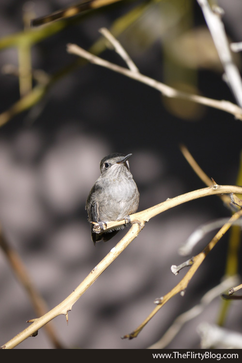 Baby Hummingbird, Lemon Tree