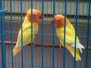 om hoby harga lovebird lutino mata merah berdasarkan umur