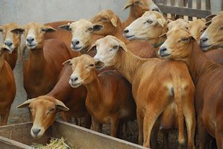 Governo quer construir abatedouro de ovinos e caprinos no Distrito Federal para combater carne clandestina
