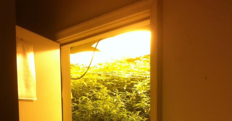 Plantar cannabis semillas de cannabis c mo cultivar cannabis en interior - Cannabis interior ...