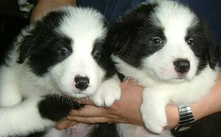 border collie pics puppies