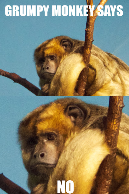 Grumpt monkey meme. Tammy Sue Allen Photography - Lincoln Park Zoo, Chicago.
