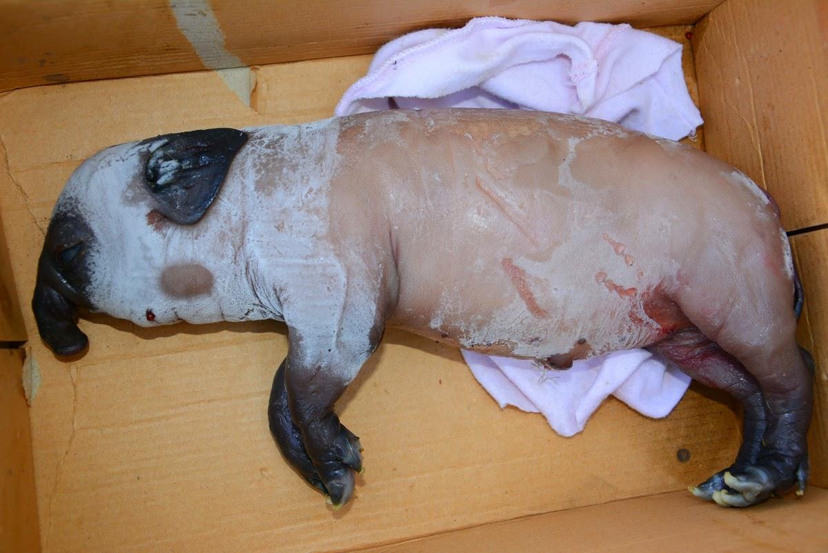 الخنزير مجمد بالكامل في كرتونة