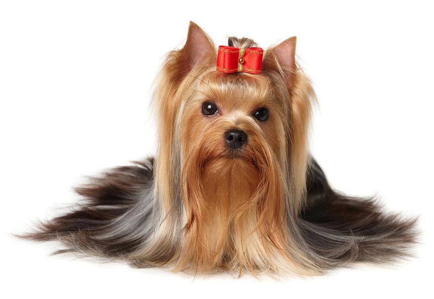 Yorksire Terrier