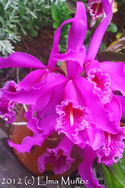 Cattleya maxima 2013 Elma Muñoz