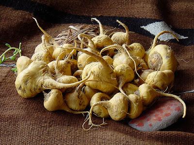 Maca (Lepidium Meyeni) dari Peru, Amerika Selatan adalah herba yang paling HEBAT yang pernah ditemui .Ia dipanggil juara segala tumbuhan disebabkan tahan lasak tumbuh di pergunungan  setinggi 13 000 kaki di Banjaran Andes, tahan kering dan  angin serta frost.