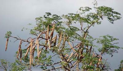 Pohon Moringa (Kelor)