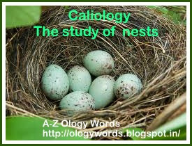 birds nest,Caliology