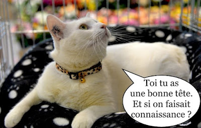 Magnifique chat blanc avec collier.