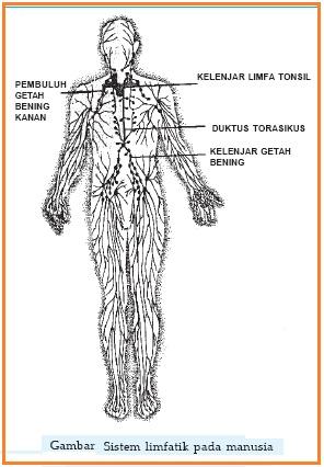 Sistem Peredaran Darah Getah Bening