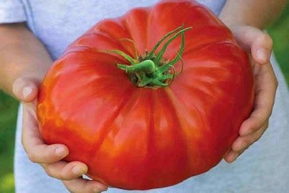 Tomat Ini Mampu Tumbuh Seberat Satu Kilogram Setiap Buahnya