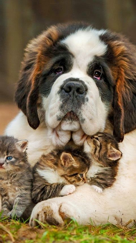 Cute St.Bernard and his kitties